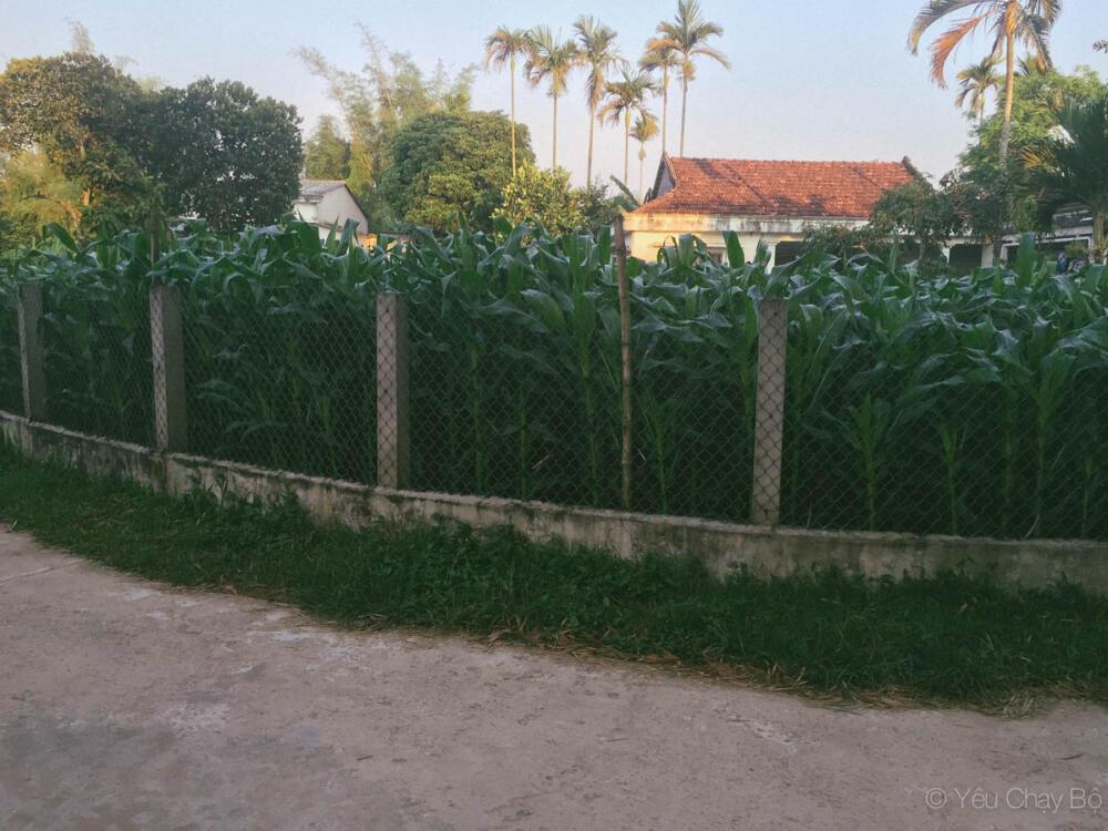 Ruộng bắp trồng ở sân nhà hàng xóm